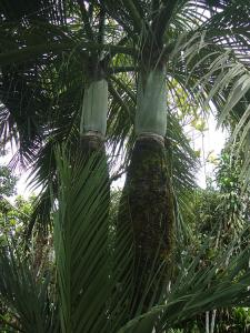Dypsis decipiens6_opt.jpg
